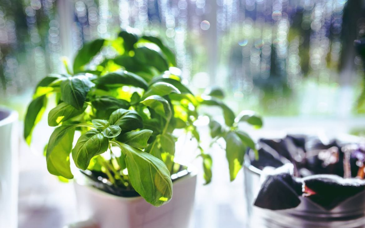 Do Basil plants repel spiders