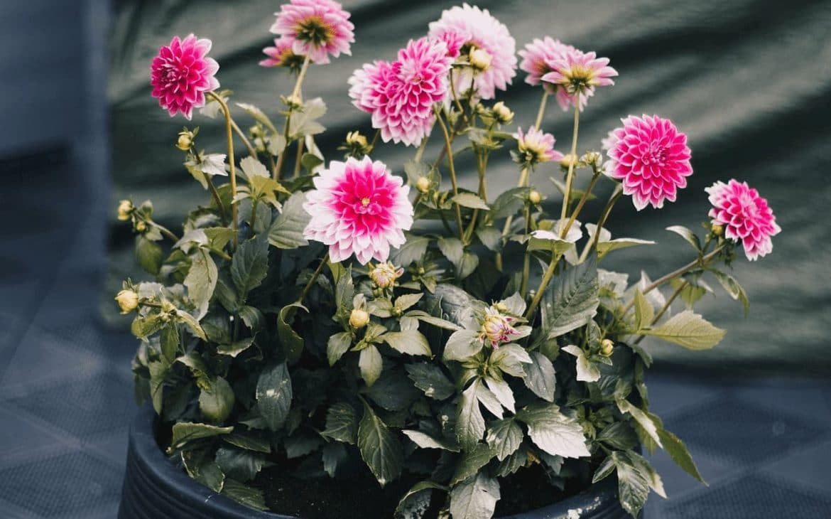 spider repellent plant Chrysanthemum