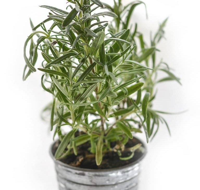 what kind of plants repel spiders rosemary